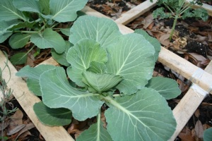 Adult Cabbage